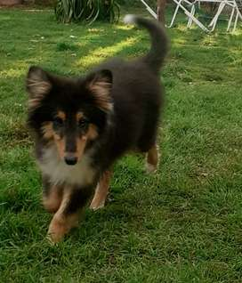 Cachorro Rough Collie