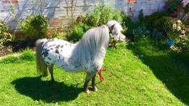 Vendo pony appaloosa