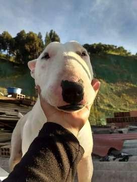 Vendo hermoso pitbull terrier ingles.