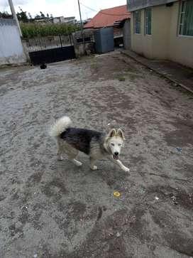 Vendo Husky de 7 meses