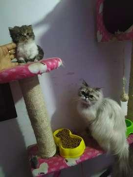 Se vende hermoso gatito persa macho