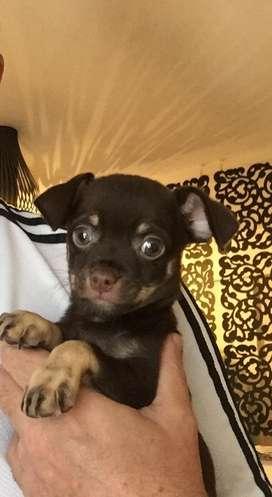 Chihuahua puro