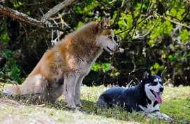 Husky siberiano Dorado para monta