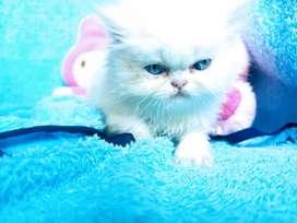 Gatos persas clásicos