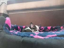 Perritos Chihuahua 150