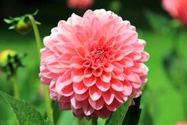 Semillas Flores Dalia Decoración Jardin Flor Planta Cultivos