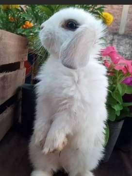 Conejos Enanos orejas caídas ,Arlequín ,mini lop , holland lop. Y Arlequín