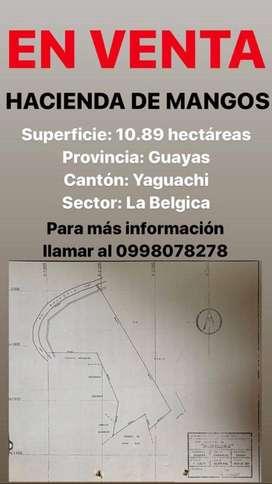 EN VENTA hacienda de mangos 10.89 hectáreas