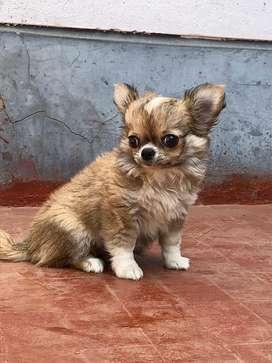 Chihuahua macho pedigree dorado lineas norteamericanas