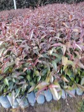 Arbolitos ornamentales de Eugenia
