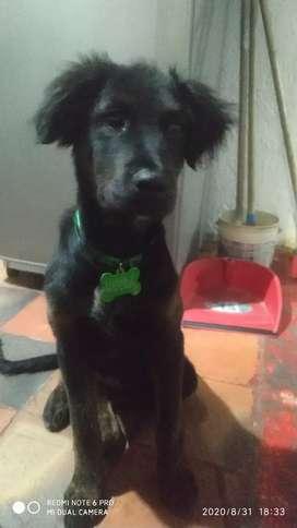 En adopción perra mestiza de 4meses raza grande, es educada y sabe ir a fuera en respectivos horarios