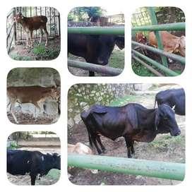 Vendo lote de ganado con terneros y novilla