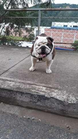 Disponible bulldog Inglés para monta