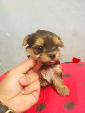 vendo cachorritos yorkshire
