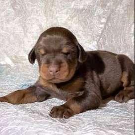 hembras doberman cachorritos 54 dias de nacidos especiales amistosos fieles perros
