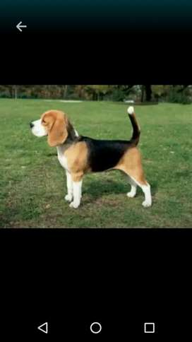 Beagle con pedegree