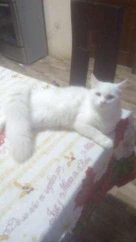 Nesecito un gato angora color blanco para una gatita  angora