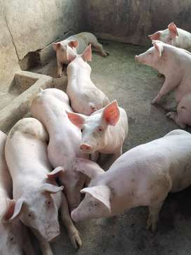 Venta de cerdos x kg