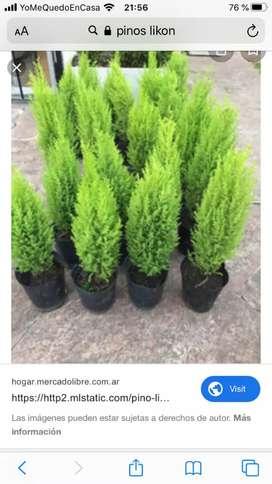 JARDINERO : INSTALACION DE GRASS , MANTENIMIENTO,VENTA DE PLANTAS