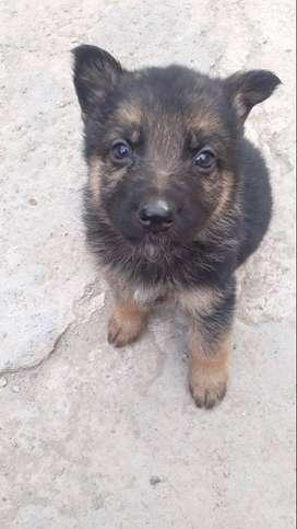 Vendo cachorro pastor aleman