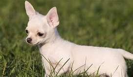 Chihuahuas pequeños disponible para entrega inmediata