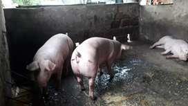 Se venden cerdos 80 kilos en adelante