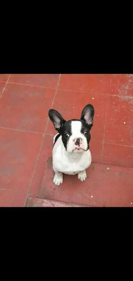 Vendo bulldog francés blanco y negro...