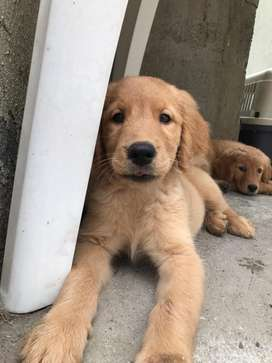Golden Retriever Precio Negociable