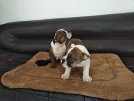 Bulldog ingles hembras