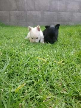 Cachorros scotish terrier