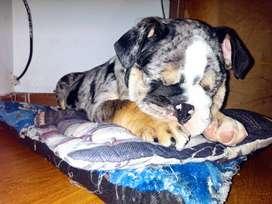 Bulldog ingles Black merle triple Carrier Ojos azules ubicado en Bogotá