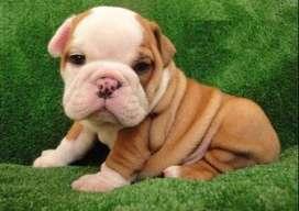 certificados bulldog ingles de 49 dias vacunados