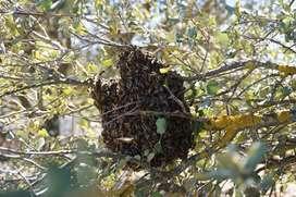 Servicio de Recuperación de enjambres de abejas