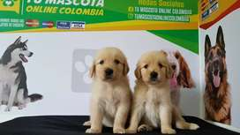 Originales Golden Retriver Alta Gama