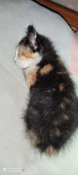 Gatica de 2 meses en adopción