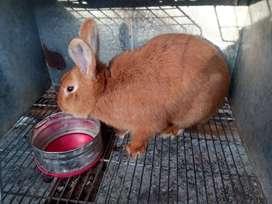 Conejos de Raza