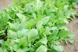 semillas de arugula planta