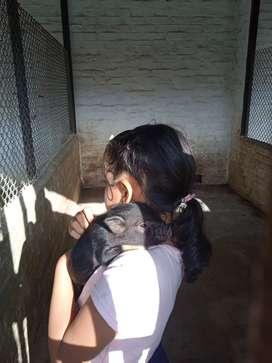Hermos@s Mini Pig mascotas