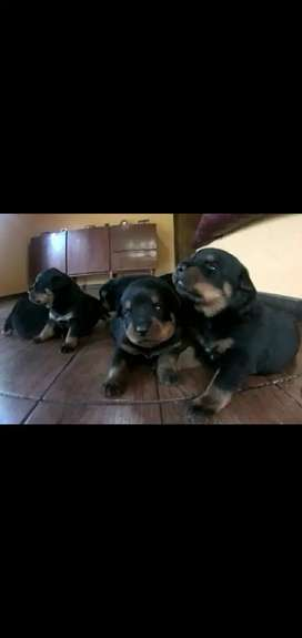 Cachorritos Rotwailer  alemanes