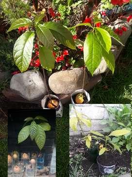 Plantas de aguacate listas para plantar