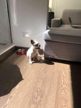 Cachorrita bulldog frances de 3 meses