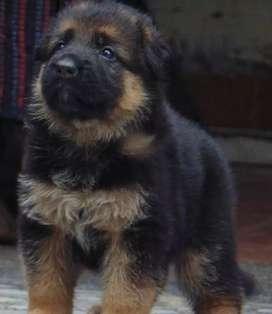 Cachorros Ovejero Alema