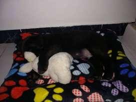 Labrador de 2 meses