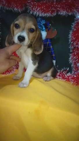 Cachorros decraza pura color tricolor  beagle
