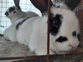 Conejo ofrece servicio de monta.