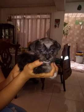 Se vende hermoso cachorrito de 2 meses