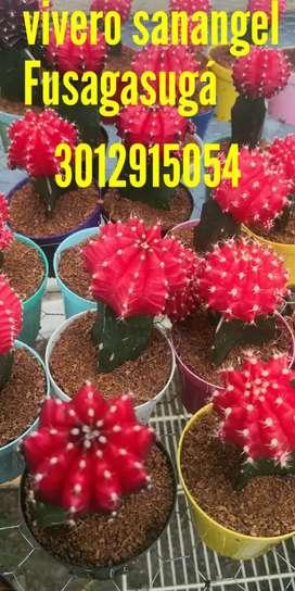Cactus Coreano injerto