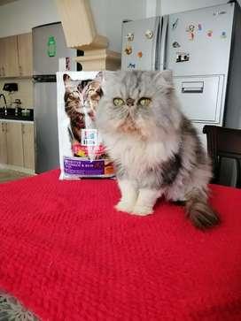 Gato persa extremo  color gris.  Pará monta.