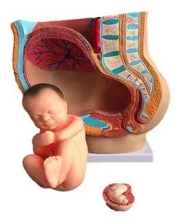 Modelo Anatómico De Pelvis Humano Femenino /para Estudio