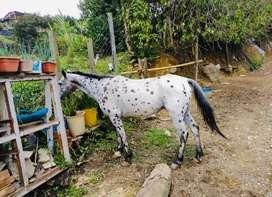 Ganga vendo 2 hermosos caballos 1 caballo 75 % arabe y 1 apaluza puro
